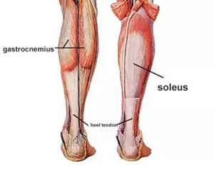 the-soleus-and-gastrocnemius
